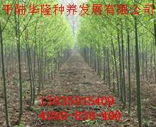 供应竹柳种小苗还枝条好图片