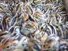 供应优质高营养农家散养无公害新鲜鹌鹑蛋批发