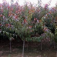 供应落叶灌木红叶碧桃