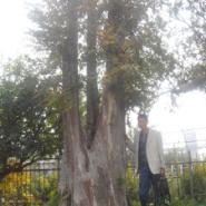 百年古树图片