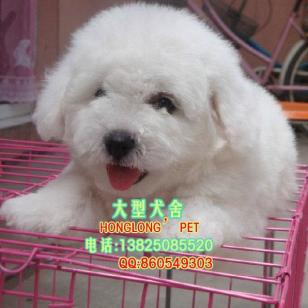 正规狗场直销泰迪熊幼犬健康质保证图片