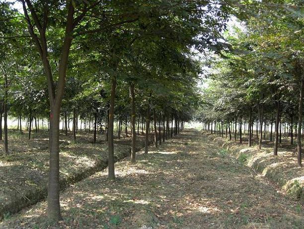榉树种子种植技术_榉树榉树小苗榉树种子榉树价格价格