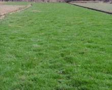 供应足球草