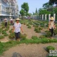 海南台湾草皮供应价图片