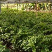 梧州黃花梨种苗种子批发图片
