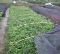 供应沉香种子种苗