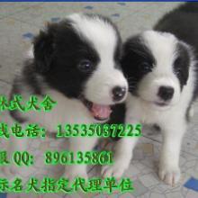 供应纯种边牧多少钱边牧幼犬哪里有出售广州哪里有卖科林式有批发