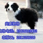 东莞哪里有纯种边牧犬出售纯种边图片