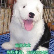 广州哪里有卖古牧纯种古代牧羊犬图片