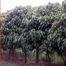 供应漳州胭脂树