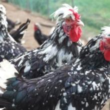 供应绿壳蛋鸡种苗,青脚麻鸡苗,芦花鸡苗,贵妃鸡苗批发