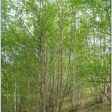 供应河北白桦树价格;河北白桦树批发;河北白桦树苗木基地;承德山地苗木