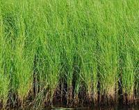 供应乌拉草干草的神奇用途