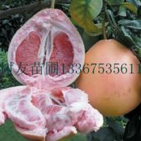 供应河池三红蜜柚苗,河池三红蜜柚苗批发、河池三红蜜柚苗供应