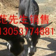 内蒙古巴林左旗哪里有卖肉驴的图片