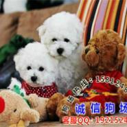 广州有没有卖纯种比熊图片