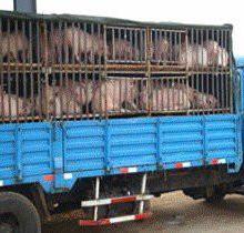 供应优质二元猪种江苏宿迁诚信猪场,低价处理二元猪批发