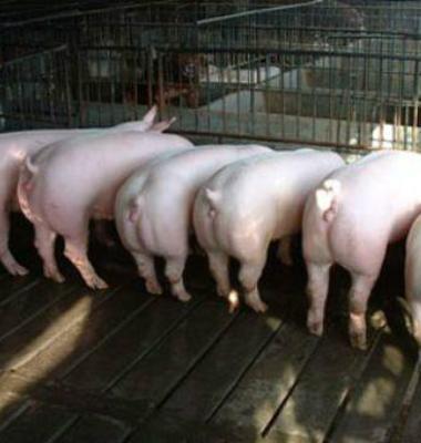 龙江二元母猪图片/龙江二元母猪样板图 (2)