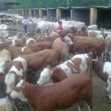 供应浙江小牛价格哪里有卖牛的 图片