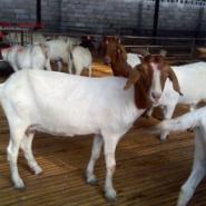 小羊羔价格贵州安顺波尔山羊价格图片