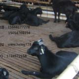 深圳黑山羊种羊养殖