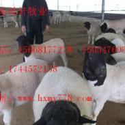 波尔山羊杜泊羊青山羊市场价格图片