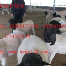 供应杜泊羊母羊价格批发
