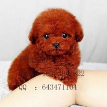 供应泰迪熊价格 红色泰迪熊犬价钱 泰迪熊犬多少钱 泰迪熊犬好养吗