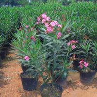 供应大量黑土地1-2年夹竹桃