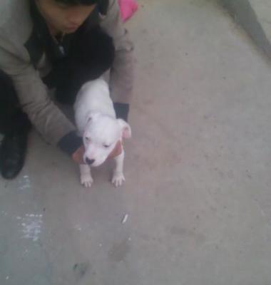 哪里有卖杜高犬的图片/哪里有卖杜高犬的样板图 (4)