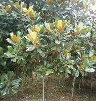 供应荷花玉兰小苗高20至1.5米高,本场有大量荷花玉兰小苗需要请联系