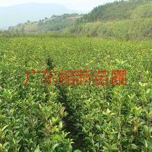 供应哪里有四季桂小苗卖,大量供应四季桂小苗高15到2米高需要请联系