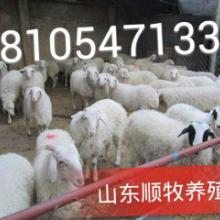 供应最新杜泊绵羊价格小尾寒羊报价图片