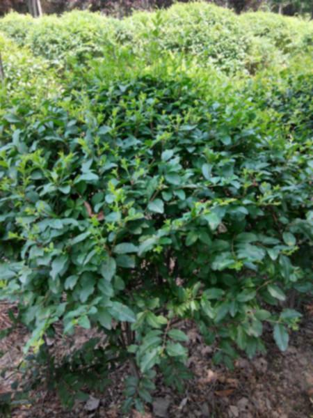 供应陕西国槐1-5公分种植