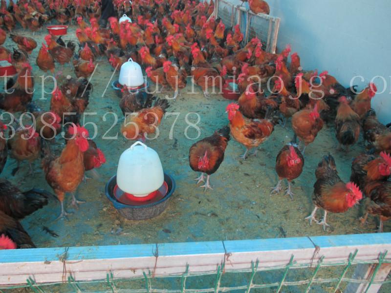 供应贵州土鸡销售,贵州土鸡批发,贵州土鸡苗,
