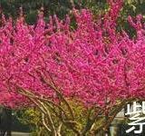 供应优质紫荆种子种苗
