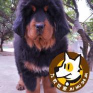 广州哪里有卖藏獒广州哪里有狗场图片