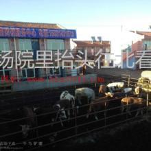 供应品种牛张北县长势快的品种牛批发