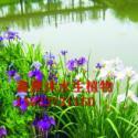供应百色水生鸢尾种植厂家,荷花种植,睡莲种植,菖蒲种植,芦竹种植等