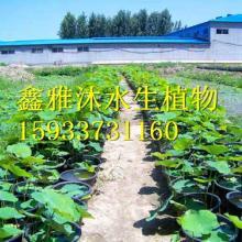 供应盆栽荷花种植公司,睡莲,芦苇,芦竹,鸢尾,千屈菜,黄菖蒲等种植