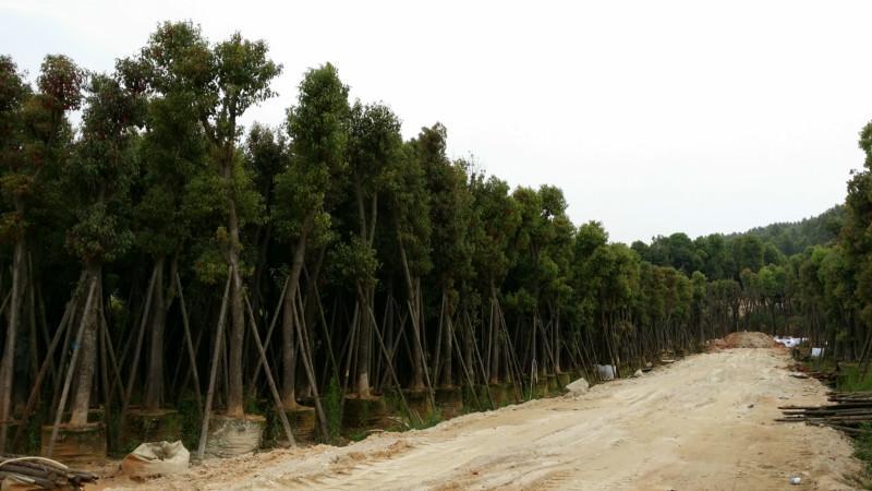 供应福建香樟袋装苗25分至20分大量低价批发漳州香樟