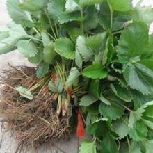 供应哪里出售便宜草莓苗、哪里草莓苗最好、哪里草莓苗便宜