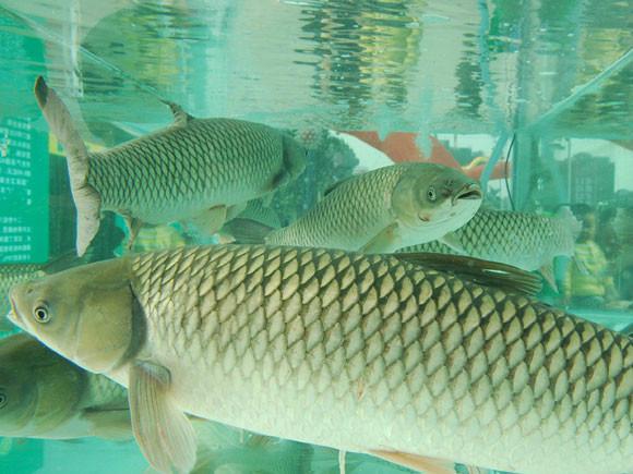 供应脆鲩鱼养殖有机饲料和无机饲料对比