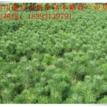 甘肃省陇南市徽县高桥乡苗木繁育产业基地大量批发华山松树苗