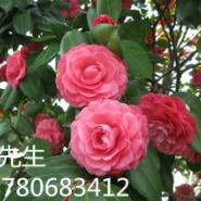 江苏苏州茶花栽培销售图片