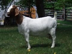 波尔母山羊图片