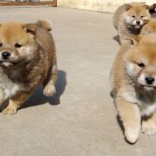 广州秋田犬广州纯种日系秋田犬广州哪里能买到好的日系秋田犬批发