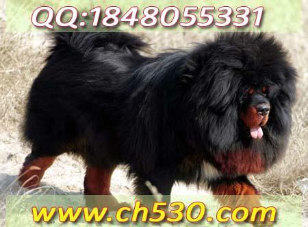 小型宠物犬品种大全 短毛小型犬品种 小型宠物犬名字图片