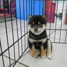 供应秋田犬广州哪里有出售秋田犬广州什么地方有纯种秋田犬买呢批发