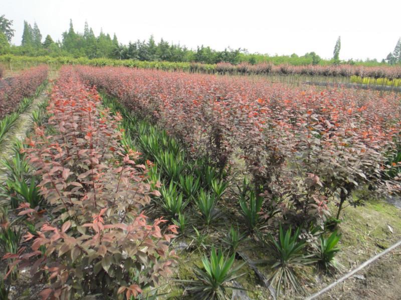 供应低分枝红叶李供应商图片